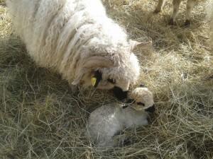 BB mouton (6)